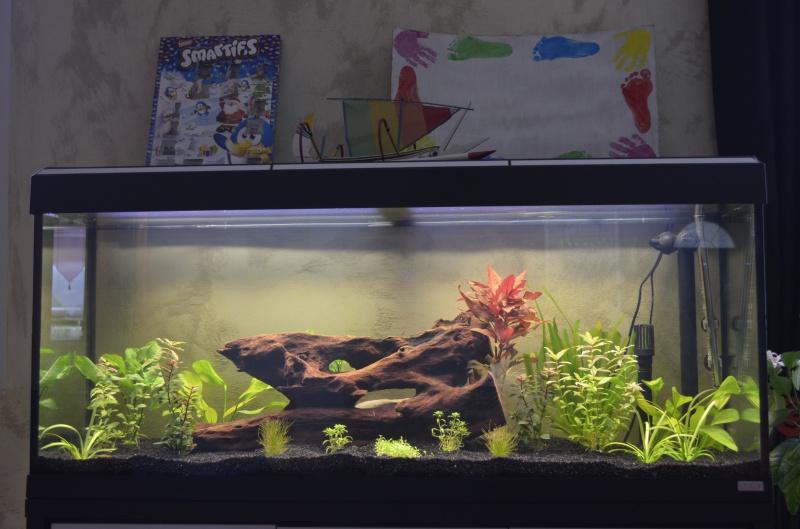 les 1er pas de mon aquarium  de 240 l 786782DSC0329
