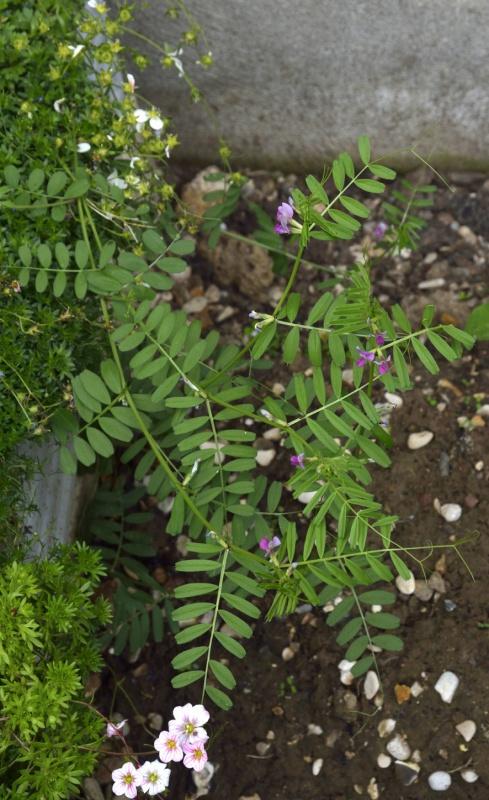 Vicia sativa - très probable [Identification] 788211pois1