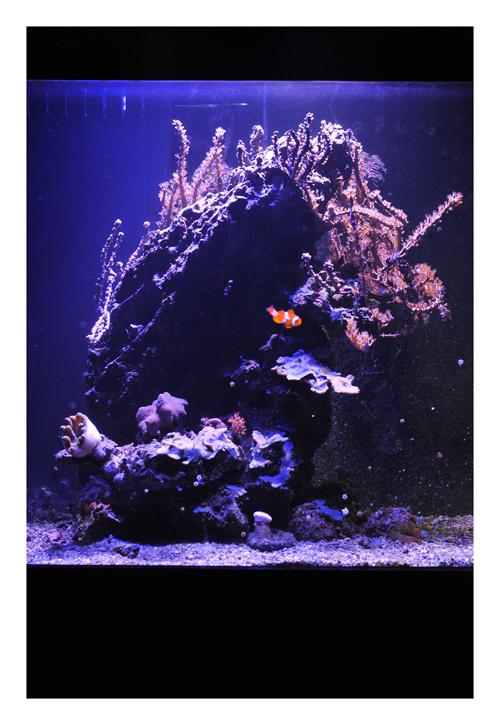 Vends aquarium récifal tout équipé + vivant 788292ROB3946redim