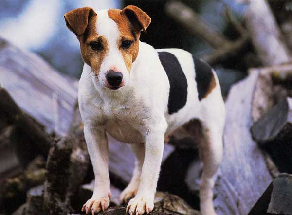 Les animaux - Page 21 792096jackrusselterrier