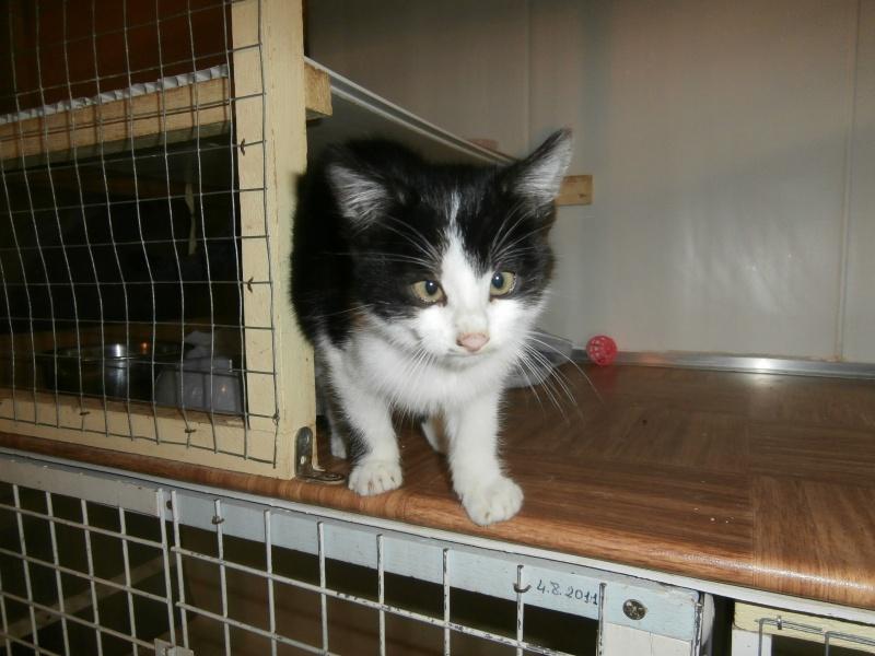 MICROBE(chaton européen noir et blanc) 795208P1212051