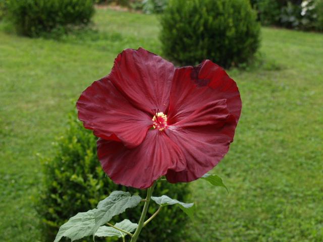 hibiscus a fleur géante:Hibiscus moscheutos cv disco - Page 11 797247P8072240