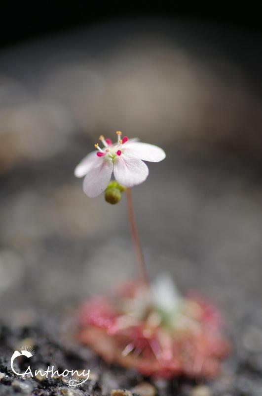 Une fleur de pygmé mais rien qu'une. 807137IMGP4978