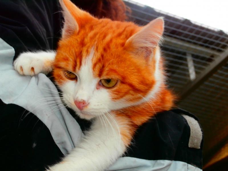 LYSSI (chat mâle roux et blanc) 809836P1212202