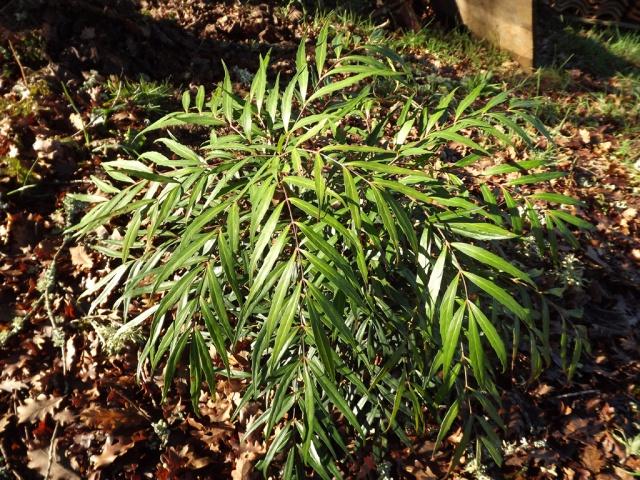 Mahonia eurybracteata 813285Mahoniaeurybracteata