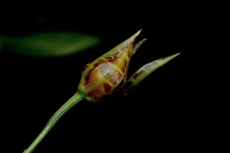 Miltonia clowesii 815459283
