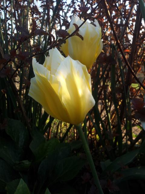 tulipes - Page 5 818833Sanstitre4