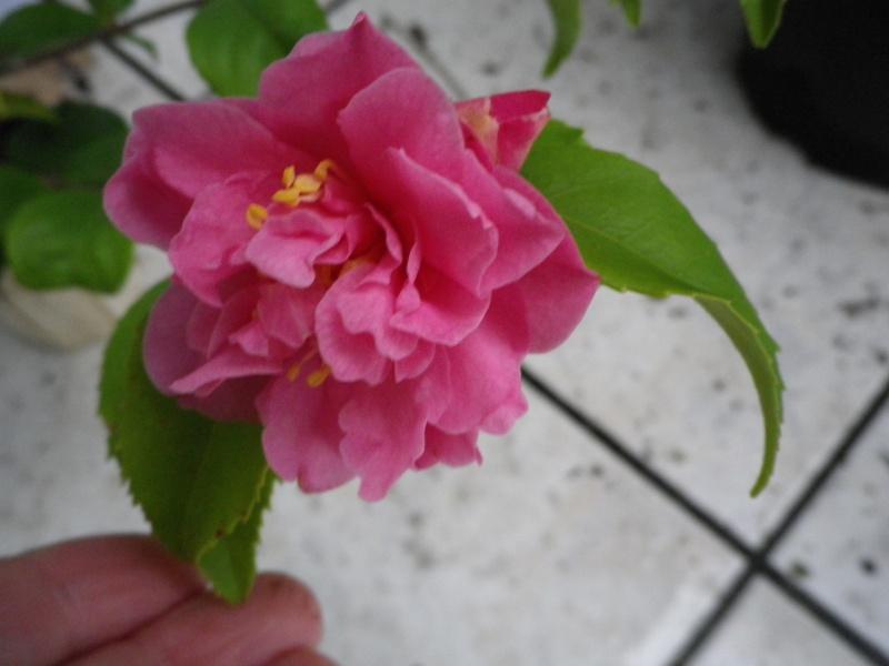 (40) Plantarium et chemin de ronde - Gaujacq 819159CamelliaxhybridarusticanaxlutchuensisFragrantPink260216IMGP3884