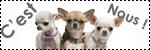 Forum Chihuahua : Mini Dog's Chihuahua 828704presentationchieneleveurjpg