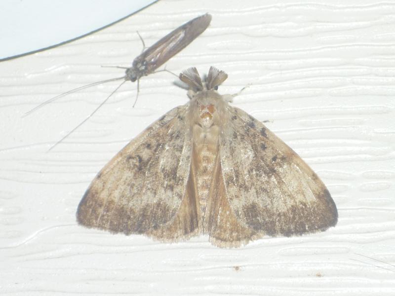 [Lymantra dispar](Erebidae/Lymantridae) Lymantra ??? 831405013