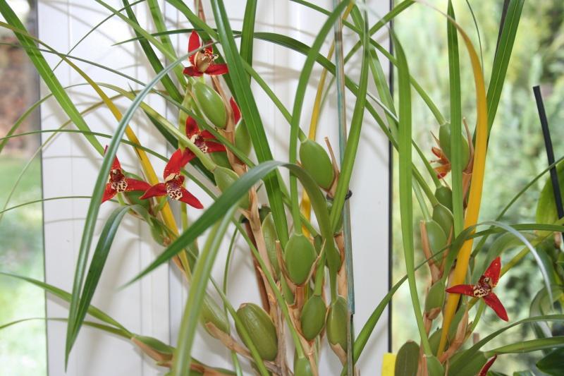 maxillaria tenuifolia  - Page 2 836792IMG9304