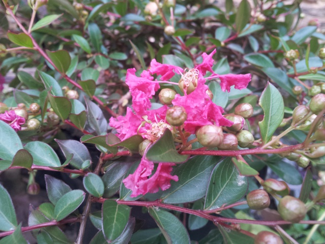 lagerstroemia ou lilas des Indes - Page 2 83808820160916082510
