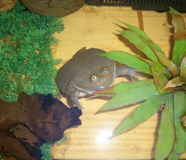 lepidobatrachus leavis 1 an sans manger ??? 8404340002286