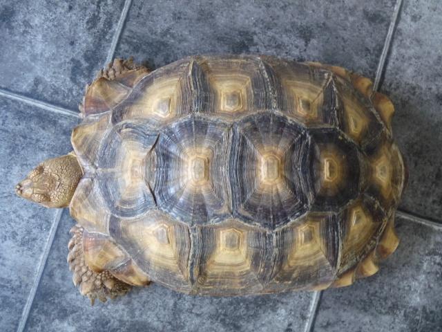 identification mâle sulcata 843441P1080353