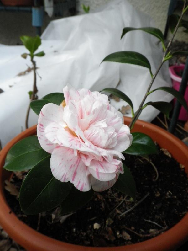 Camellia japonica punctata 'Boutourlin' (?) 848165CamelliaMmeLuxeyidentifierIMGP3818