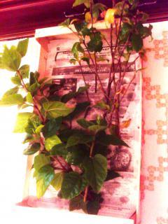 Mes hibiscus et moi...une longue histoire - Page 2 8566114JPG