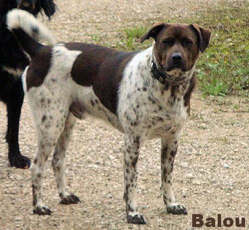 SOS Balou croisé Braque 4 ans euthanasie dans une semaine 865632Baloudejoloclojpg