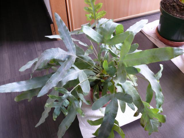 Plante myrmécophile ? 868298P1050235