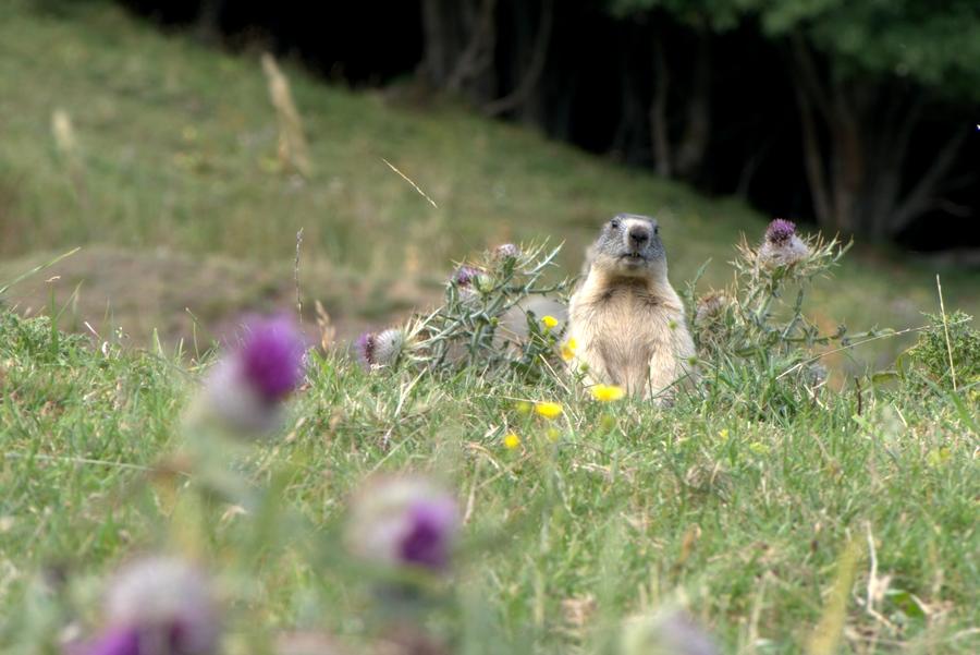 Le photographe de Dame Marmotte  868752Marmottechardons900