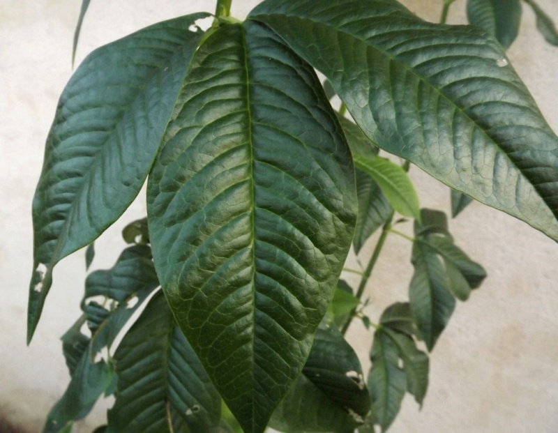 Piptanthus nepalensis 869000piptanthus4