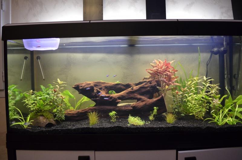 les 1er pas de mon aquarium  de 240 l 869510DSC0384