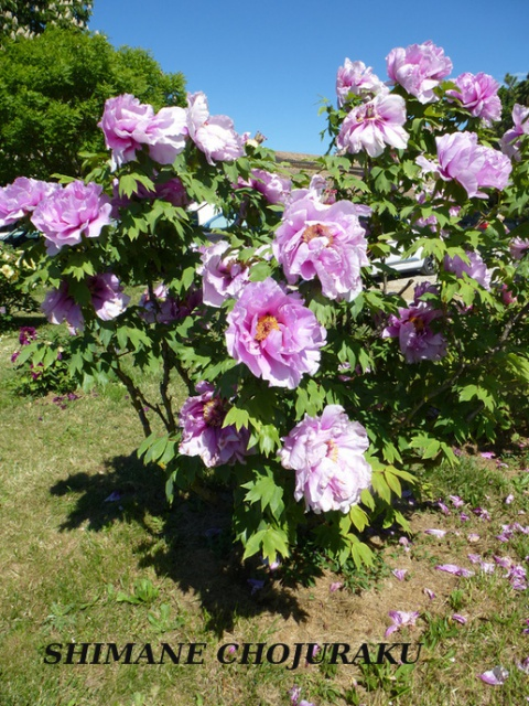 Paeonia - pivoines herbacées - Page 4 869567ok12