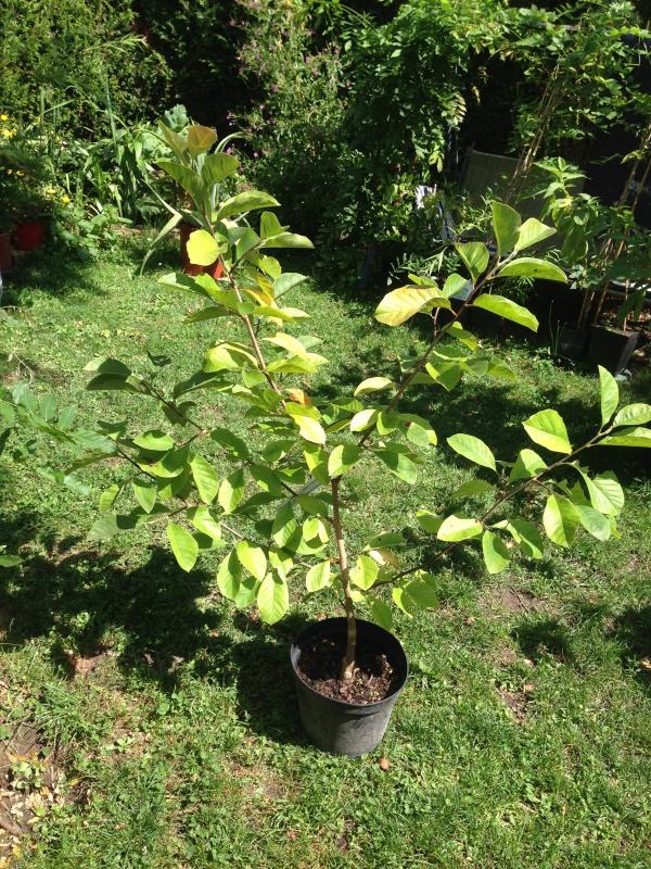 Magnolias - Page 14 870864IMG6071
