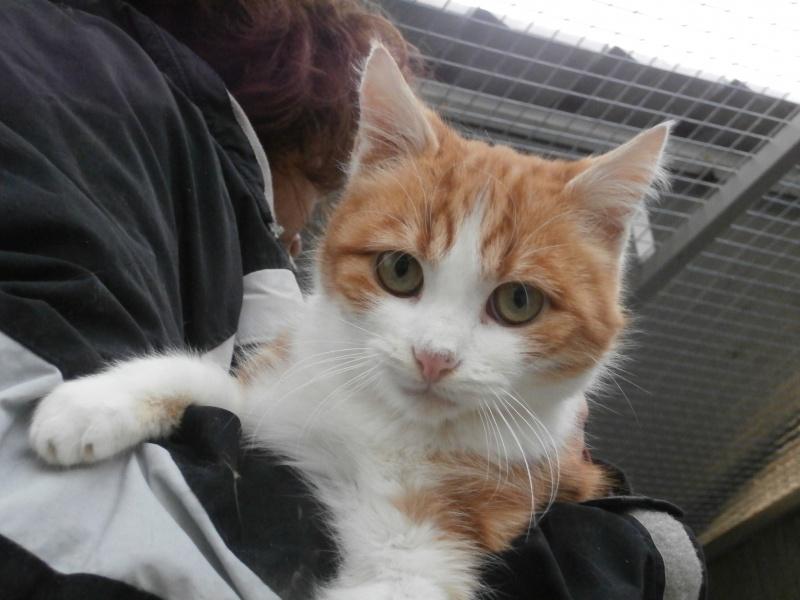 LYSSI (chat mâle roux et blanc) 871798P1212201