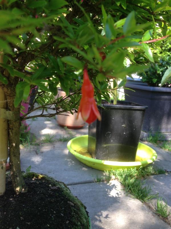 grenadier bonsai 872774IMG5814