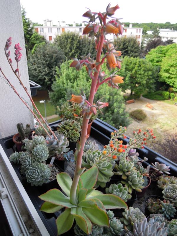 un bouquet de fleurs d'Echeveria pour fêter l'arrivée du soleil! 874280subrigida08