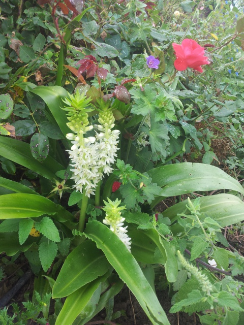 Bulbes de Fleur d'Ananas (Eucomis bicolor) - Page 2 87532820160731142707