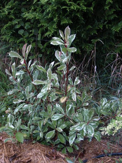 les arbustes persistants 881300P9293209