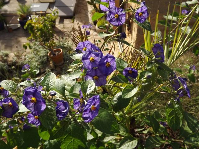 Solanum rantonnetii 881515solanumrantonetti