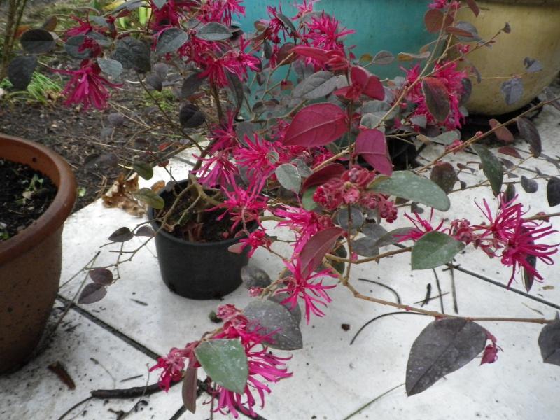 (40) Plantarium et chemin de ronde - Gaujacq 887213LoropetalumchinensePlumGorgeus26022016IMGP3871