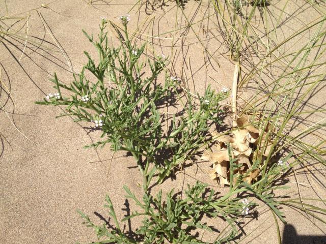 flore du littoral : plages, dunes, vases et rochers maritimes 888794IMG0409
