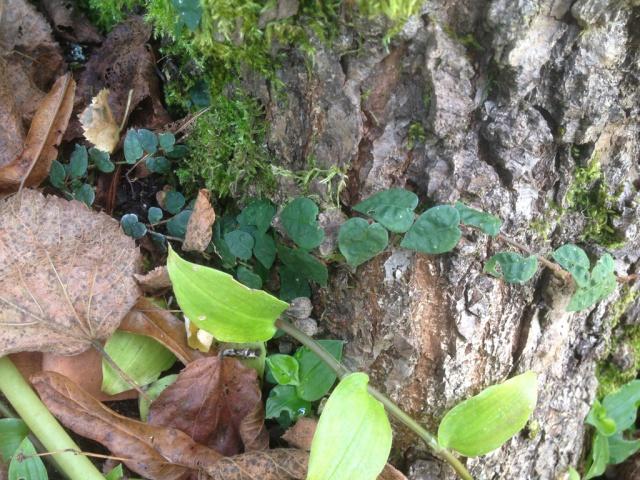 Ficus pumila - Page 2 892610IMG0580