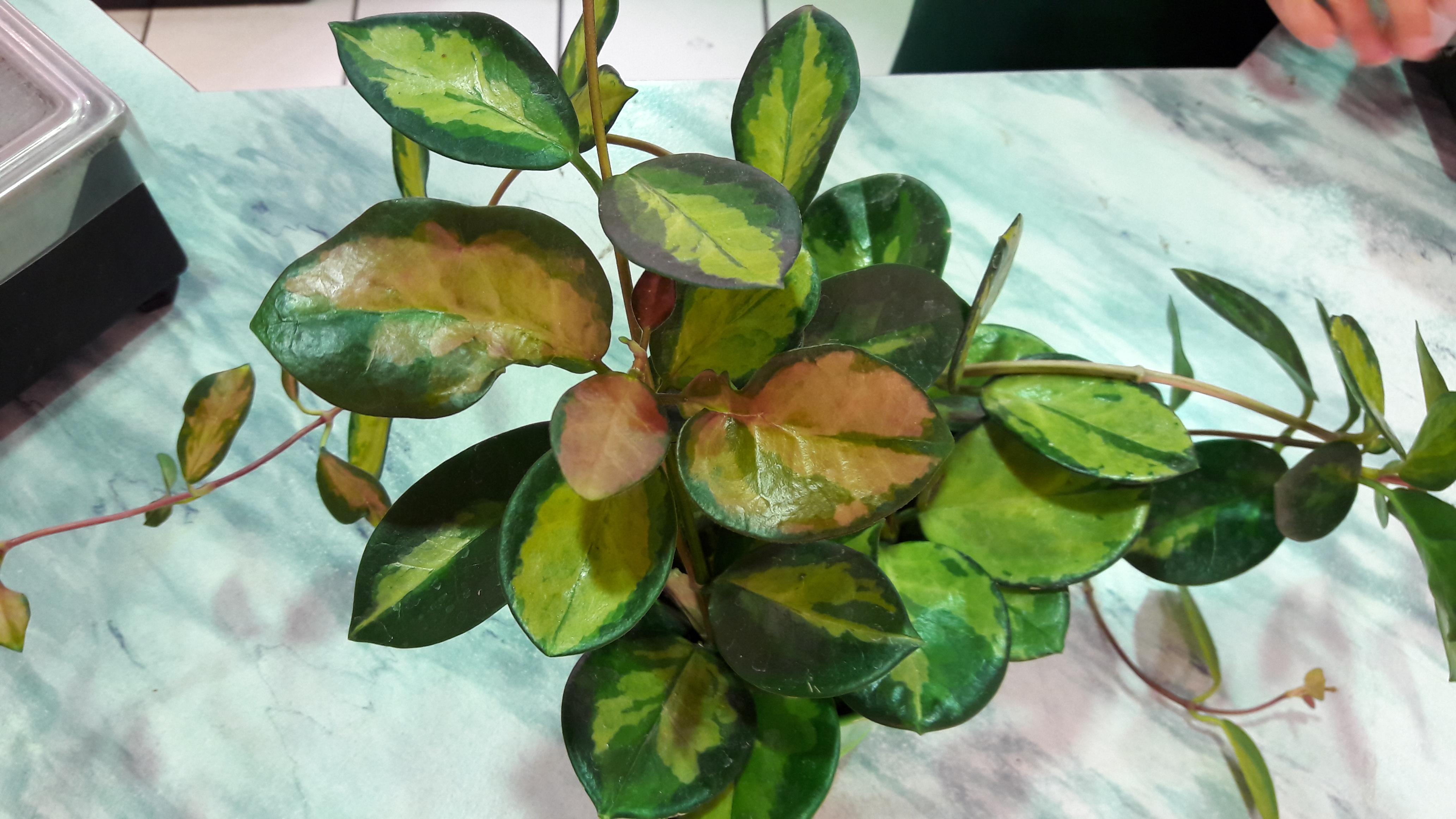 hoya australis lisa 89614120160810151232