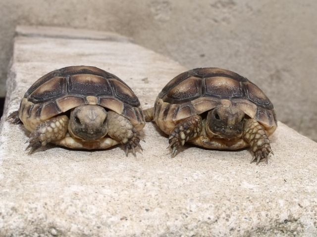 identification de 2 petites tortues  896229806