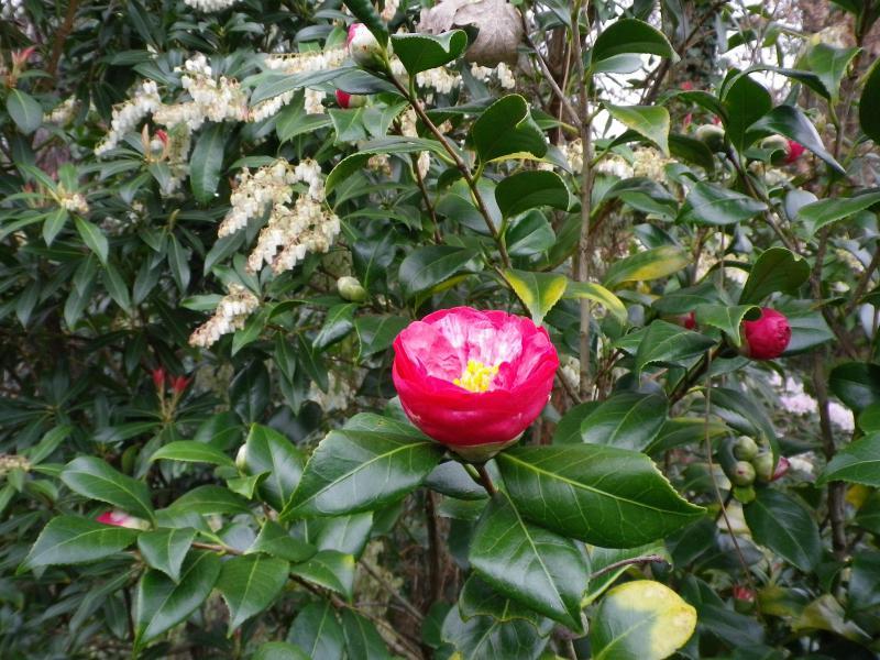 Quelques floraisons 902546CamelliaIMGP1232