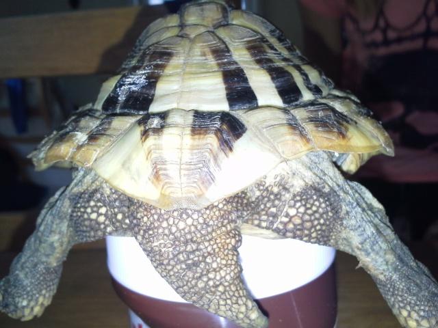 conseils pour aider une tortue-terra  906570Platon6