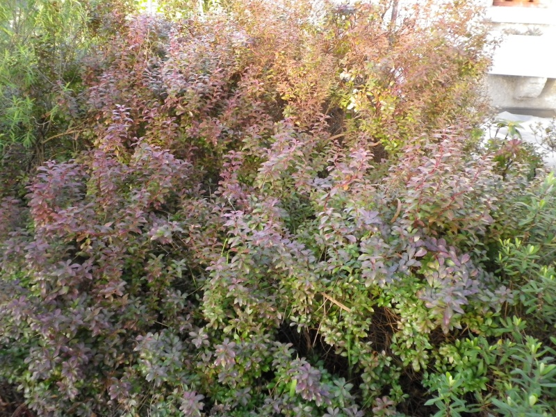 pieris - Pieris japonica 'Little Heath Green' 921853IMGP3835