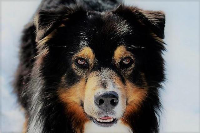Impact du chien sur la santé humaine - Page 3 931456dusty