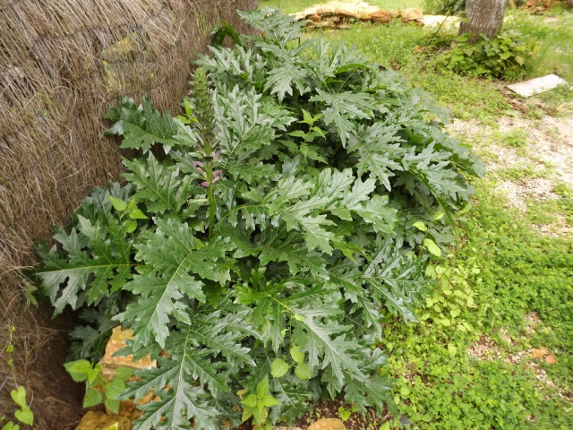 Acanthus mollis - et généralités sur le genre  936033acanthe1
