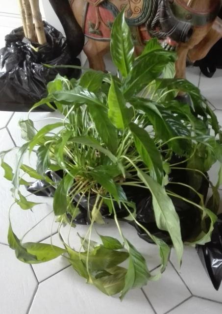 Yucca elephantipes, Dracaena, Spatiphyllum [Identifications] 939927IMG20170807201741