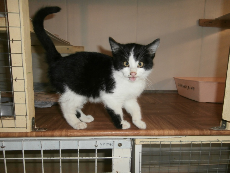 MICROBE(chaton européen noir et blanc) 940714P1212055
