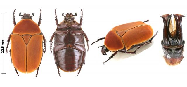 Pachnoda savigny Gory et Percheron 1833 ssp. consentanea Schaum - Page 2 942441PachnodamarginatasspaurantiarectoversoprofilSngalIRDdeMBour181020102