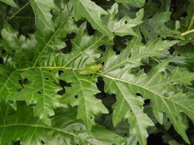 Acanthus mollis - et généralités sur le genre  946549acanthe3