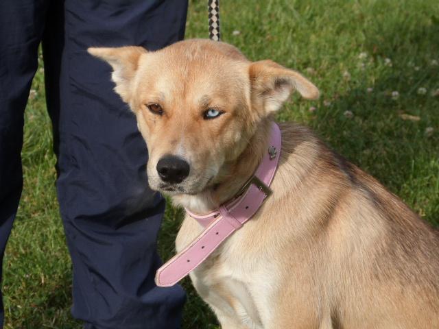 LAYCE Husky x Labrador (f) Née le: 01/06/2013 REFU86 ADOPTEE 947666138rLayce11