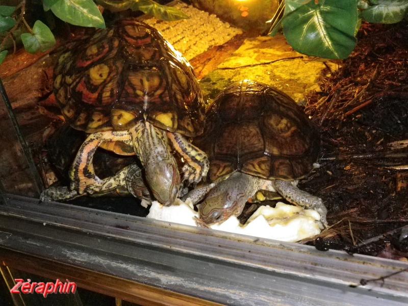 Aménagement d'un aqua-terrarium pour espèce semi-aquatique 95628107janvier201210