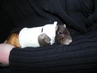 Le rat saucisson - Protéger une plaie après opération - Page 6 956534DSCN5659